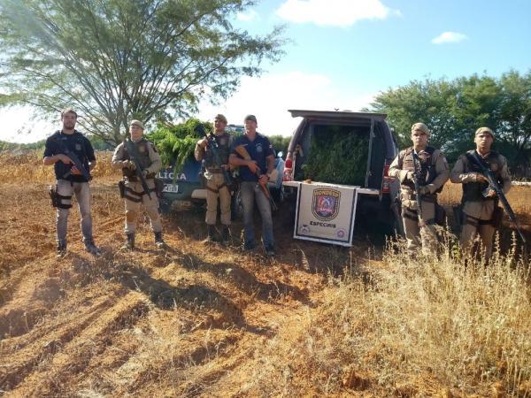 Polícia acha 2.600 pés de maconha em Canarana; ninguém foi preso